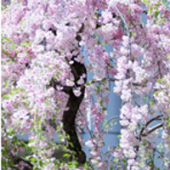 Paskalya'dan sonra 4.Çarşamba – Yarı Paskalya