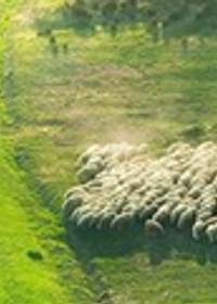 4.Sevgilim benimdir, ben de onun; zambaklar arasında koyun otlatıyor.